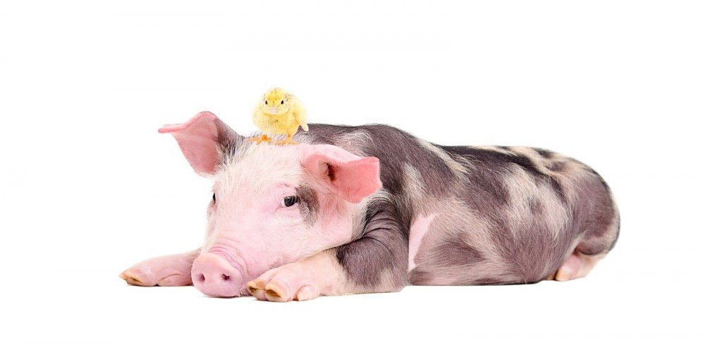 Commitment Chicken Pig Bacon Eggs: Will Your Credit Union Be The Chicken Or The Pig?