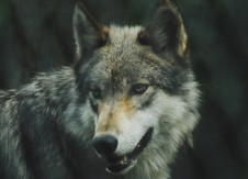 Leadership Matters: Is my boss the big bad wolf?