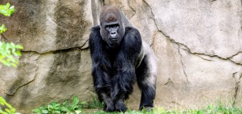 Podcast: Growth and gorillas