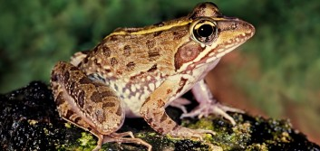 International CU development: Culture lessons from an African frog